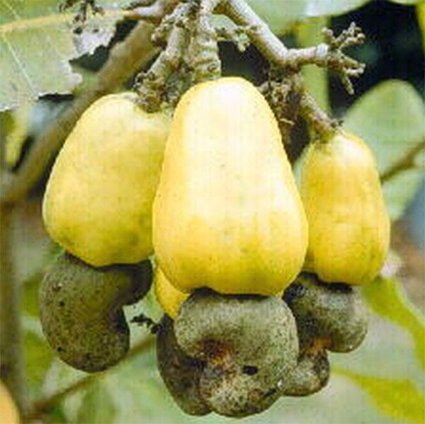Jambu Mete Kacang Mete