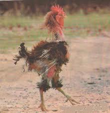 El gallo Panchito