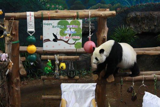 Lin Ping ru Panda Cub Lin Ping