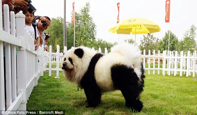 http://1.bp.blogspot.com/_nqnZJRUl4zU/TAz27eFRQNI/AAAAAAAADhc/N__SeoNfeCg/s1600/Meet+the+Tiger+Dog+Chinese+pet+owners+dye+pets+to+look+like+wild+animals+in+new+craze+5.jpg