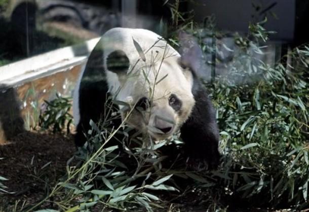 -old+giant+panda,++Atlanta.+Zoo+Atlanta%27s+13-year-old+giant+panda ...