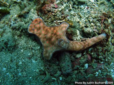 Nudibranch, Midway reef, Pemuteran