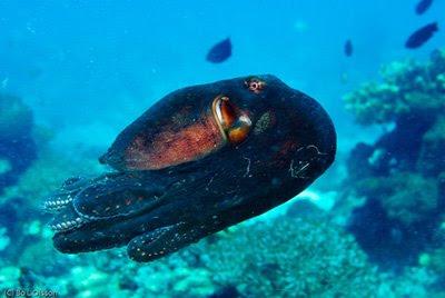 Flying Octopussy, Pemuteran, NW Bali