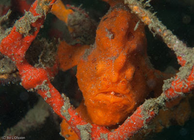 Orange Frogfish, Secret Bay, NW Bali