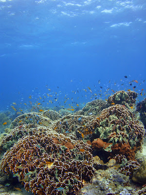 Once spartan now densely covered reef top at Close Encounters, Pemuteran, Bali