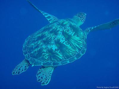 Turtle, Menjangan Island, NW Bali