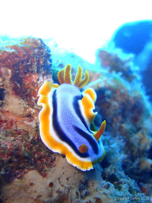 And another Nudibranch