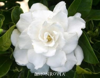 Gardenias Are One Of The Most Spectacularly Scented Flowers In A Summer  Garden, But They Have A Well Earned Reputation For Being Hard To Grow.