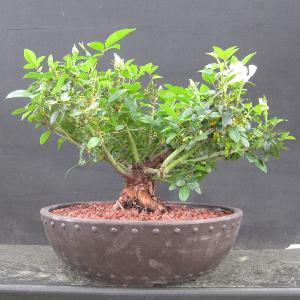 Bonsai Beginnings April 2010