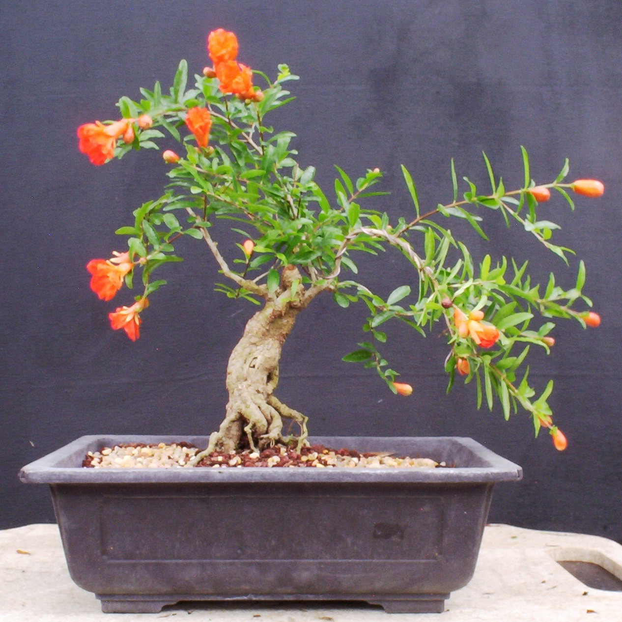 Bonsai Beginnings Punica Granatum Pomegranate
