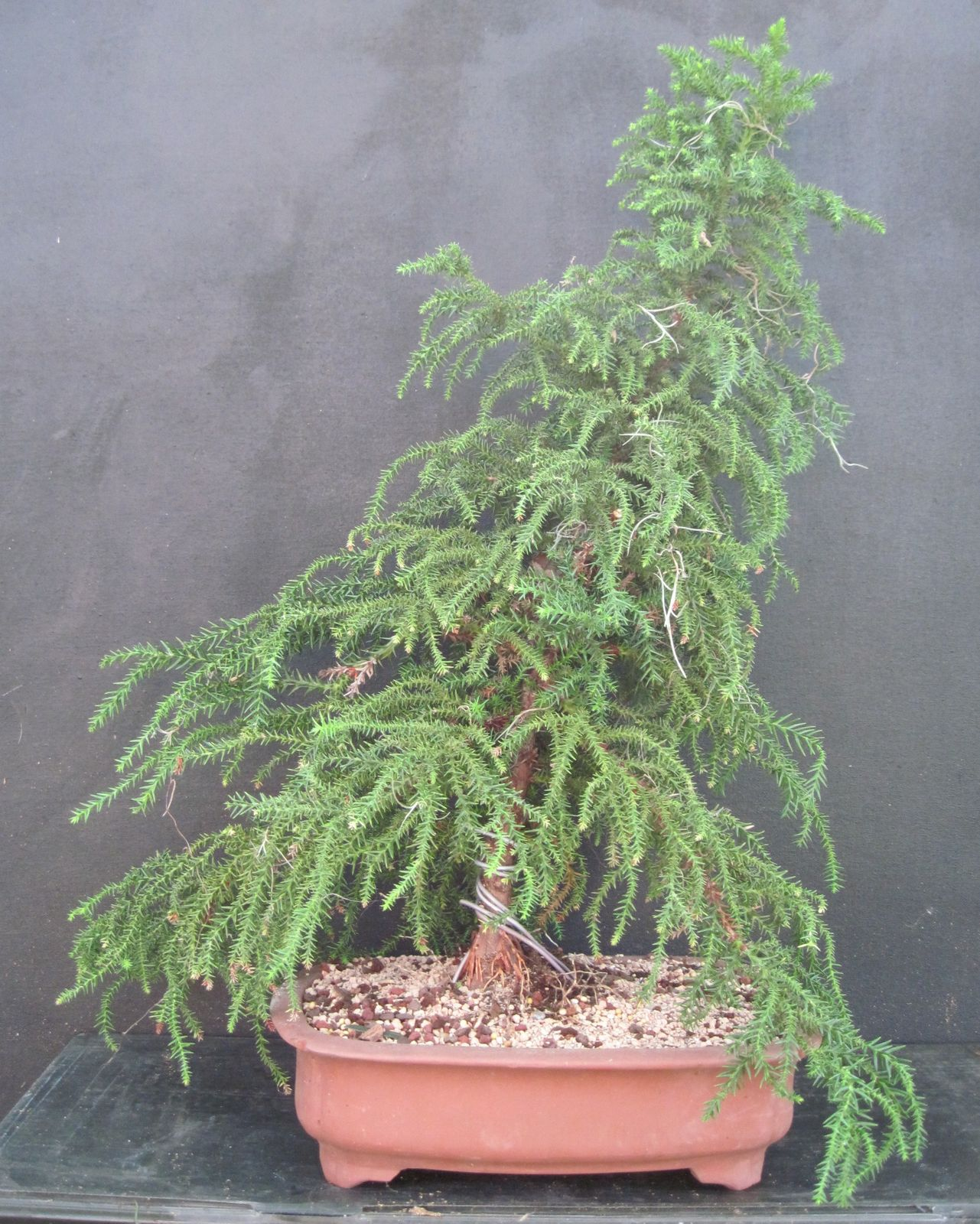 Bonsai Beginnings: Sugi  Japanese Temple Cedar #934438