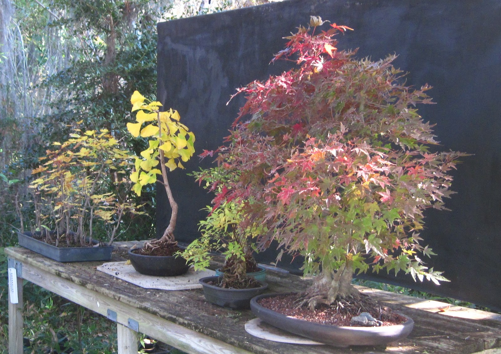 Bonsai Beginnings Autumn 2010