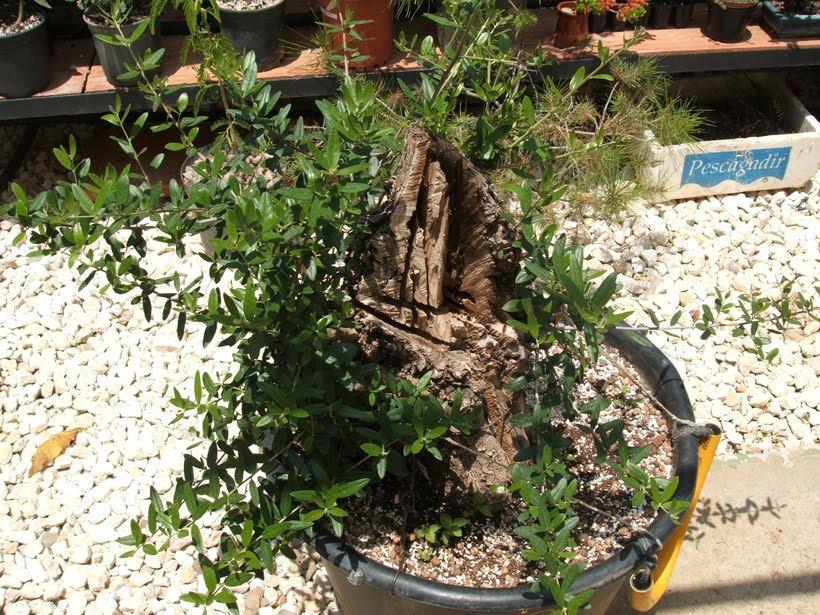 yamadori: olivo - plantado