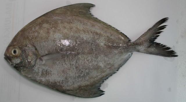 Al-kisah si ikan bawal hitam