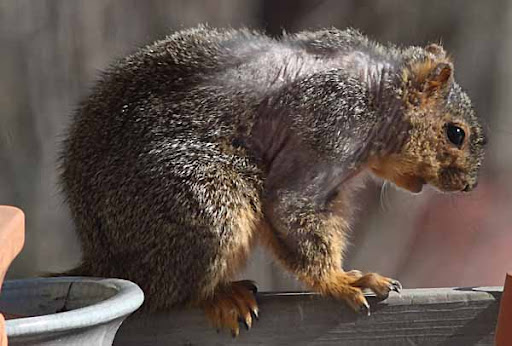mangy fox squirrel