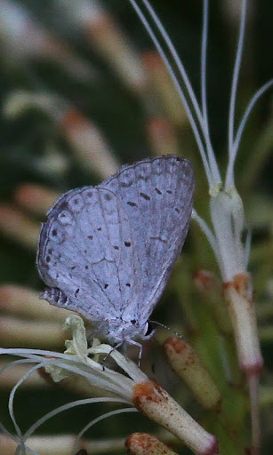 Summer Azure butterfly(Celastrina neglecta)