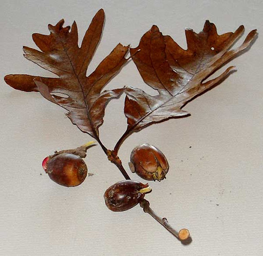 over cup oak (Quercus lyrata)