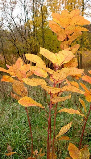 native smoke tree (Cotinus obovatus)