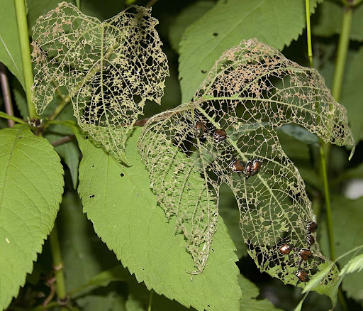 Japanese beetles on summer grape leaves (Vitis aestivalis)