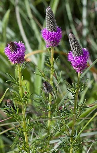 Purple prairie clover (Dalea purpurea)