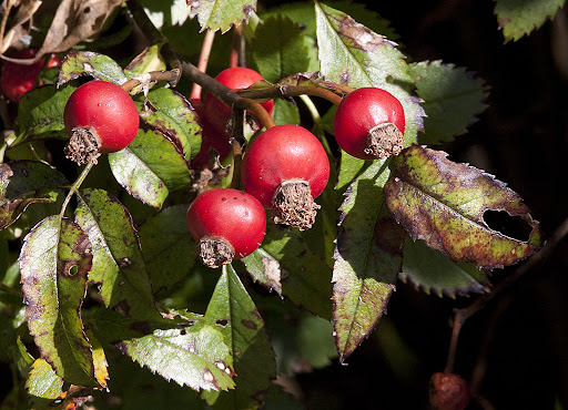 Rose hips of Carolina rose (Rosa carolina)