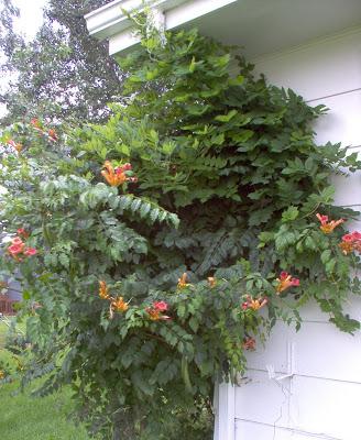 trumpet vine plant. trumpet vine plant.