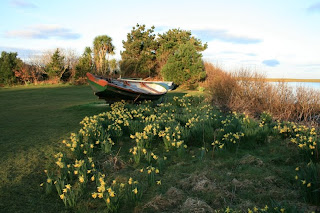 Daffodils and Renvyle, Connemara county Galway on a March morning