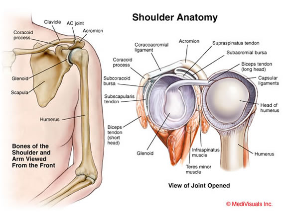 of my rotator cuff tendons