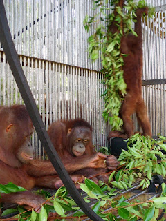Mona, Huta and Nicky the rescued orangutans