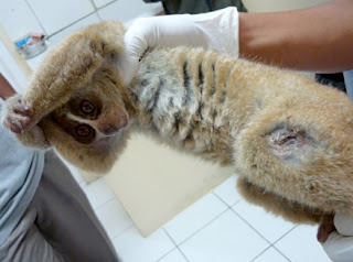 Olip the slow loris