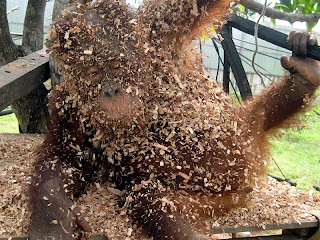 Melky covered in wood chips