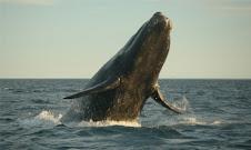 Patagonia Balene