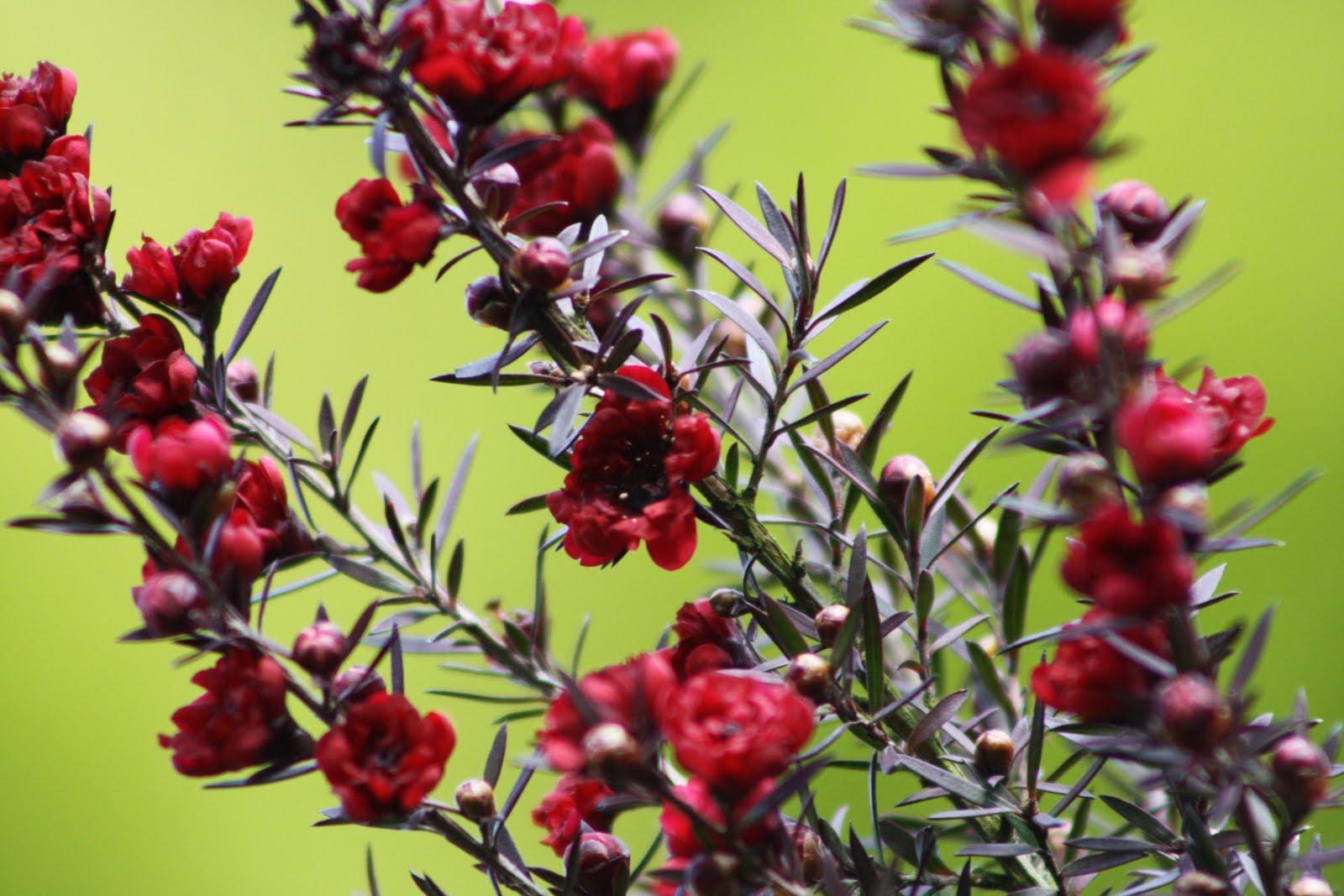 El jard n de margarita leptospermun scoparium - Arbusto pequeno con flores ...