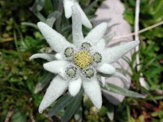 Edelweiss - Alpská Protěž