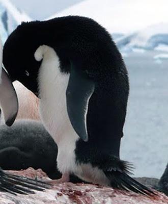Adelie pinguïn