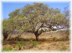 Árvore Símbolo do ALACAZUM: Umbuzeiro (spondias tuberosa)
