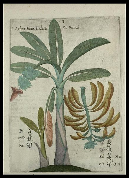[437px-Flora_Sinensis_-_Banana.jpg]
