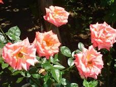 trandafiri din gradina mea