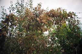 seminţe de hamei