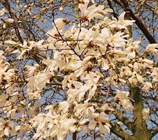 magnolia albă