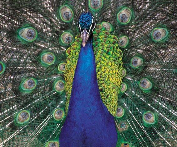 Bolondosblogos - Immagini pavone a colori ...