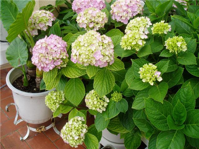 Mi jardin preferido la hortensia - Hortensias cuidados poda ...