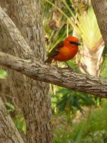 Le cardinal à Maurice