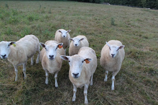 sheep gang