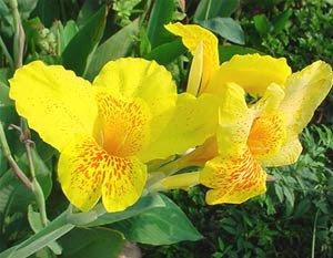 ต้นดอกพุทธรักษา....มีหลายสี