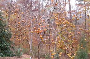 2005 Fuyu bounty after leaf fall