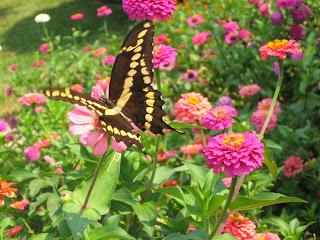 фото бабочки, фото цветы, фото махаон