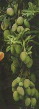 Planta De Mango(Venezuela)