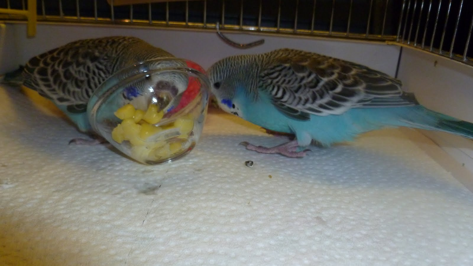 how to make hand feeding formula for baby budgies