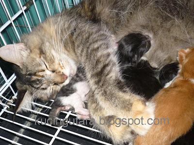 Kucing Utara Daisy Kucing Maine Coon Sudah Bersalin